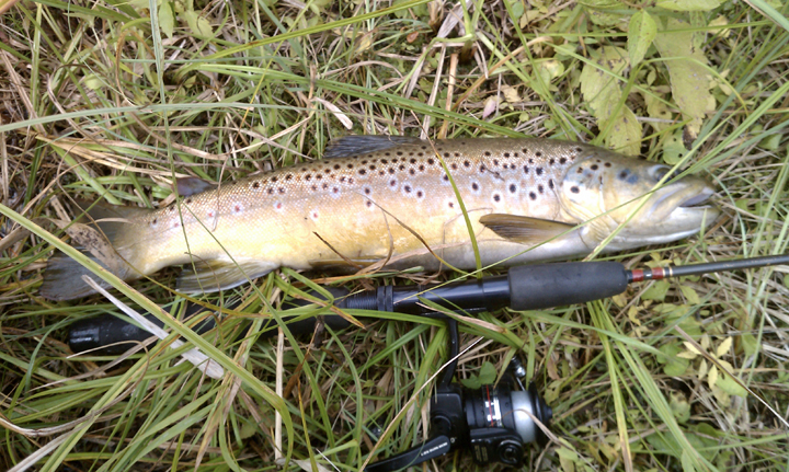 Manistee River Brown Trout | Fichigan